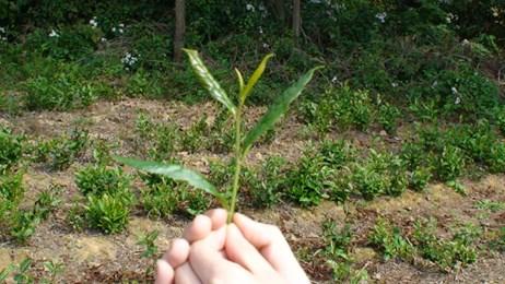 Peter Barker holding Oolong leaf